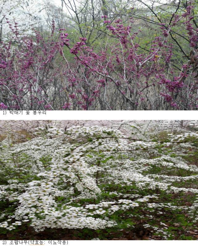 2-박태기와 조팝나무 꽃 2018-04-10 18.jpg