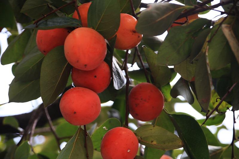 우리집  감나무  언젠가  종로에서  감나무 가지사서 집마당에 꼽았더니 요